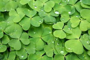 Picture of a four-leaf clover symbolzing luck in trading