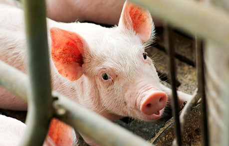 Guide to Lean Hog Futures – Futures Contract Specifications, Lean Hog Facts, & Strategies
